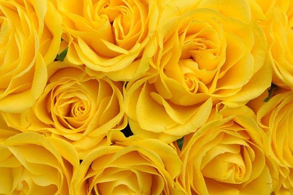 Significado das rosas amarelas