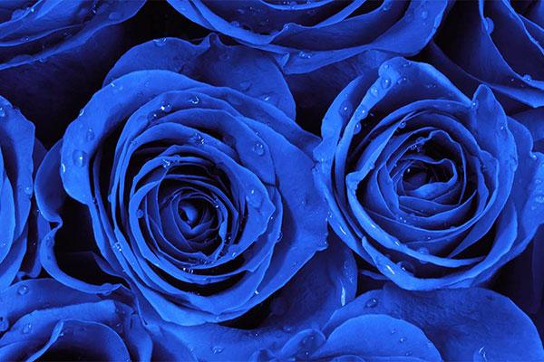 Significado das rosas azuis