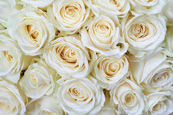 Significado das rosas brancas