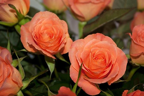 Rosas de cor salmão